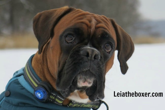 Gingerbread Cookie recipes from Sweden Tasted by Leia the Boxer